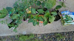 野菜の苗や種