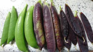 収獲した紫エンドウとスナップエンドウ
