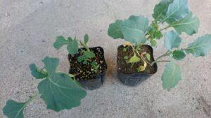 ブロッコリー苗の育ち具合の比較