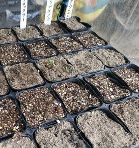 ブロッコリー発芽の様子