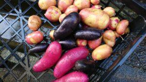 収穫した様々なジャガイモ