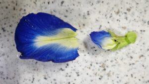根元をちぎったバタフライピーの花