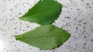 stevia-leaves